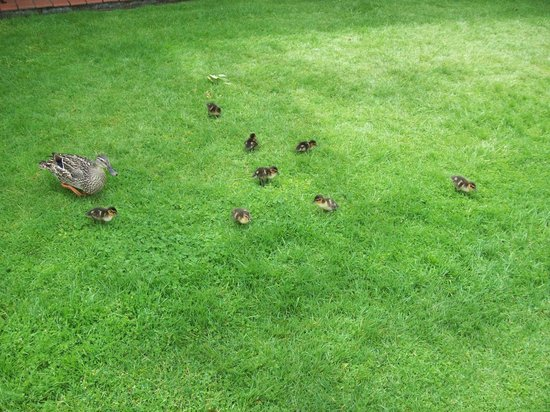 Millennium Hotel and Resort Manuels Taupo : Mother duck & ducklings on the lakeshore