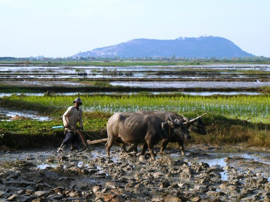 The Happy Ranch Horse Farm: Water Buffaloes plowing