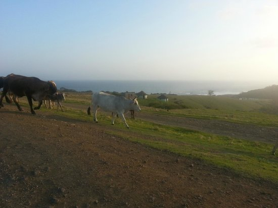 Mdumbi Backpackers: Local Xhosa cattle, the only crowd on the beach!