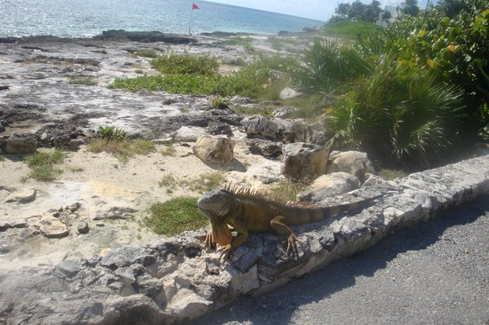 Club Med Cancun Yucatan: Iguanas hanging around the hotel