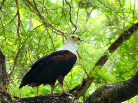 Kapamba Bushcamp - The Bushcamp Company: Fish eagle