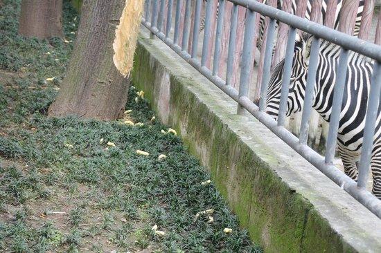 Chongqing Zoo (Chongqing Dongwuyuan): Snaks for the Zebras