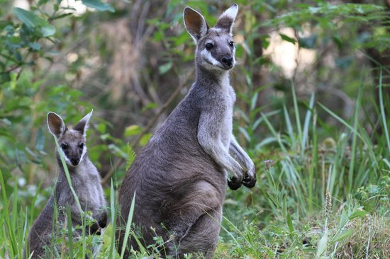 O'Reilly's Rainforest Retreat, Mountain Villas and Lost World Spa: Wallabies im Umfeld des Hotels