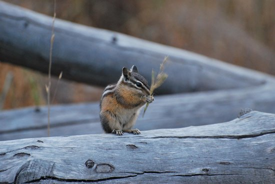 Headwaters Lodge & Cabins at Flagg Ranch : chipmunk