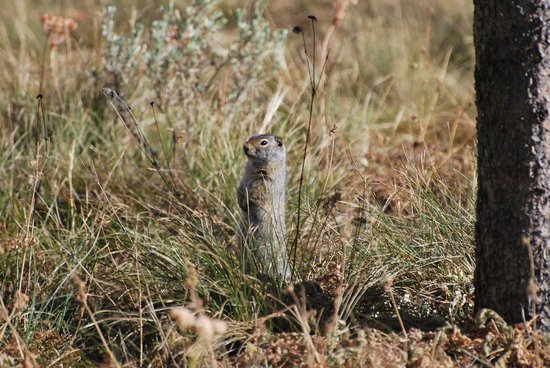 Headwaters Lodge & Cabins at Flagg Ranch : Ground Squirrel