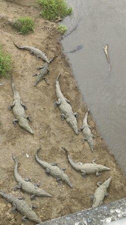 Reserva Biologica Carara: Cocodrilos Río Tarcoles