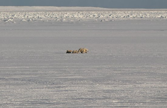 Arviat, แคนาดา: Polar bear family on the Bay outside the Beach House window