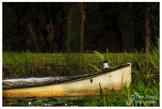 Barney Creek Cottages: Captain Kingfisher - looking for Breakfast.