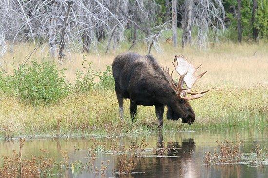 Moose Wilson Road: Old Grey Bull Moose bending to drink