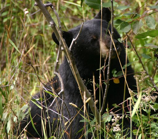 Moose Wilson Road: Black Bear eating serviceberries