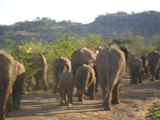 Pilanesberg National Park: They just walked round us....