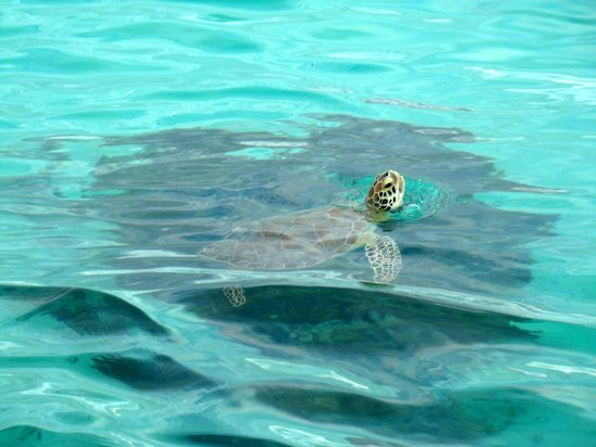 Fernandez Bay Village: Sea Turtle