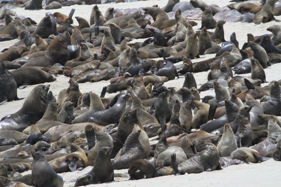 Cape Cross Lodge: Huge numbers ofseals makeup the Cape Cross seal colony