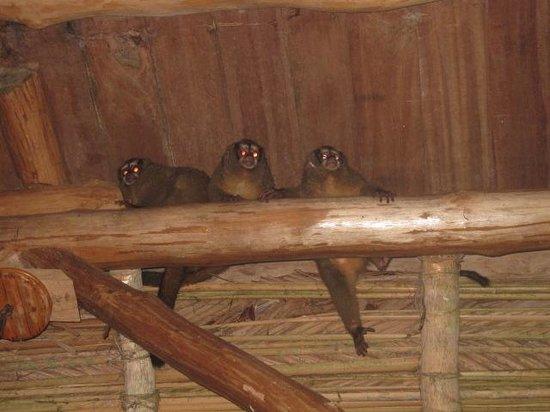 Al Natural Resort : Aapjes die ons iedere avond kwamen bezoeken