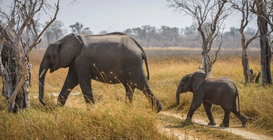 Camp Moremi : Elephants Crossing