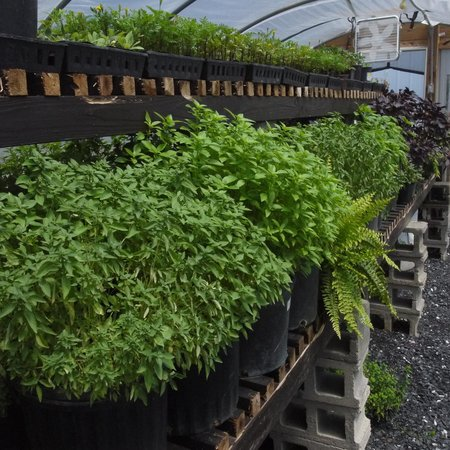 Hermitage Hill Farm and Stables: greenhouse growing herbs