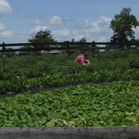 Hermitage Hill Farm and Stables: picking veggies