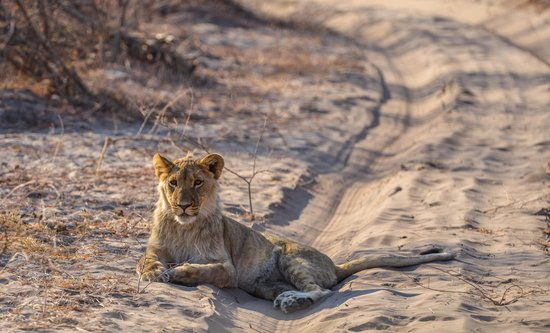 Leroo La Tau: Even the Lions are Relaxed.