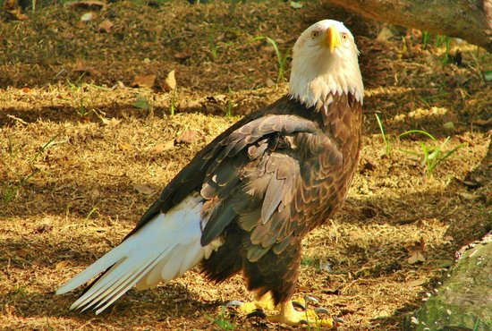 Ellie Schiller Homosassa Springs Wildlife State Park: Bold Eagle