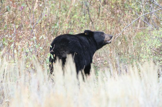 Moose Wilson Road: Black Bear looking for berries