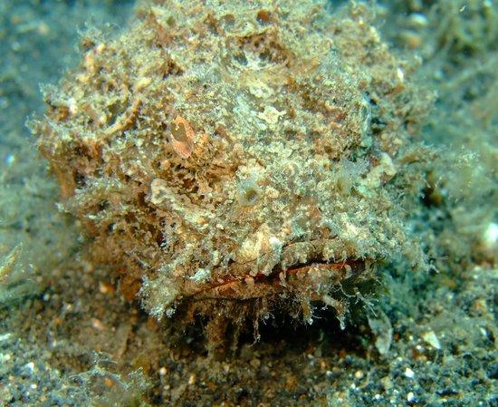 Kungkungan Bay Resort: Hairy Frogfish
