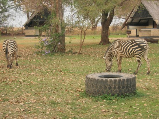 Eureka Camping Park : Striped visitors