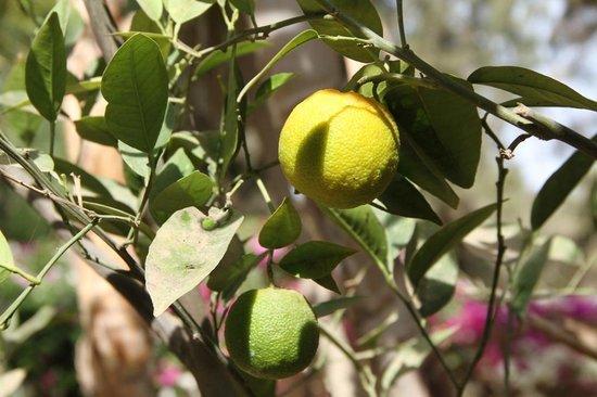Riad des Golfs : Cironnier du jardin