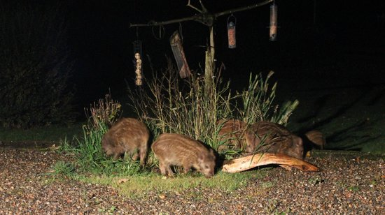Loch Ness Highland Cottages: Baby wild boar eating birdfood in our front garden