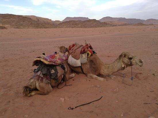 Obeid's Bedouin Life Camp: camel tour