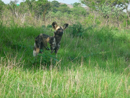 Hluhluwe Umfolozi Hilltop Camp: Also called African Wild dog