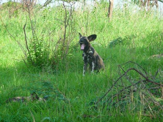Hluhluwe Umfolozi Hilltop Camp: Painted Dog