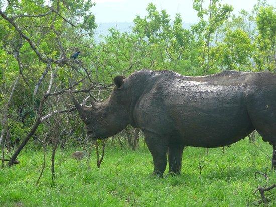 Hluhluwe Umfolozi Hilltop Camp: Rhino