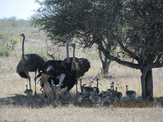 Thornhill Safari Lodge: Ostrich family - game drive