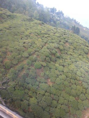 Tea Garden: Shot from Rope way - 4