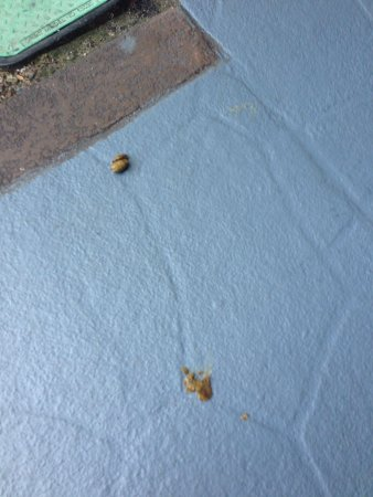 Sheraton Orlando Lake Buena Vista Resort: One of many dog feces I saw in the grounds of the hotel.  Yuck!!