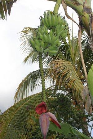Le Cactus Guest House: Bananes