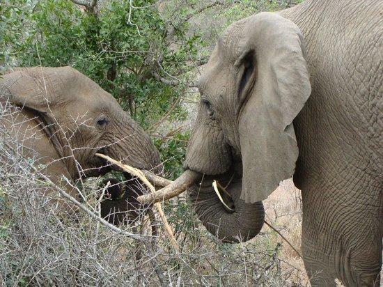 Amakhosi Safari Lodge: tusk to tusk