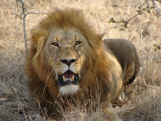 Amakhosi Safari Lodge: roar