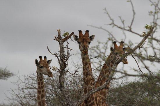 Amakhosi Safari Lodge : treeo