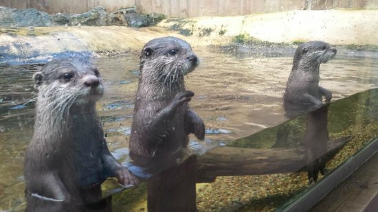 Biotropica la Serre Zoologique: The otters