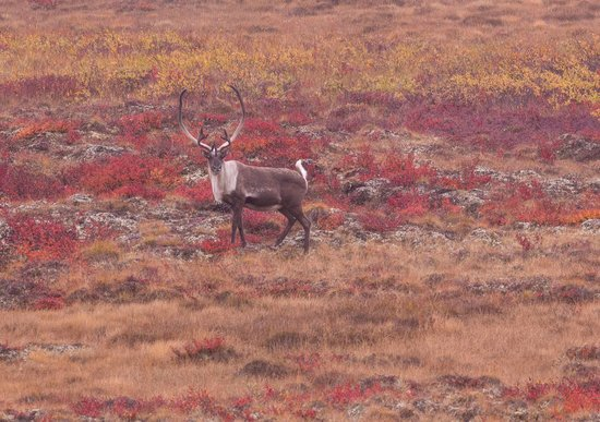 Peterson's Point Lake Lodge : Caribou