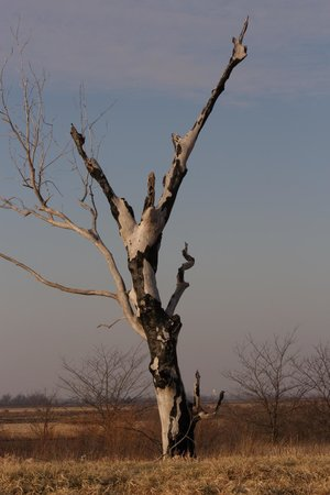 Mound City, MO : Beautiful old tree on the back side of the refuge