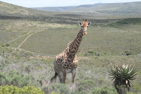 Nyaru Private Game Lodge: Giraffe on the game drive