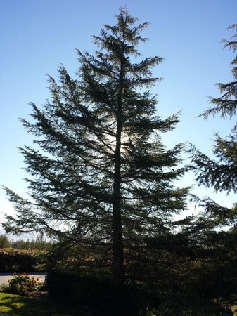 The Purple Orchid Wine Country & Spa: Morning sun through large pine tree in front