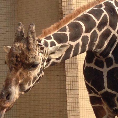 Chongqing Zoo (Chongqing Dongwuyuan): Jirafa en Chongqing Zoo By Leo