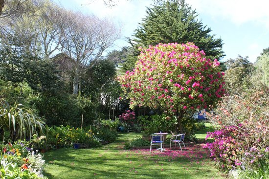 Arts Content Bed and Breakfast : tree sized rhododendron on the lower lawn