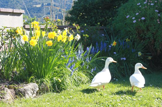 Arts Content Bed and Breakfast : visiting ducks and the dafodils in spring