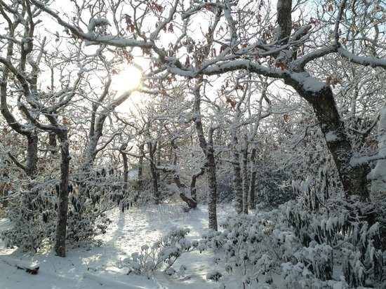 The Mountain Retreat and Learning Center : the dwarf white oaks in February