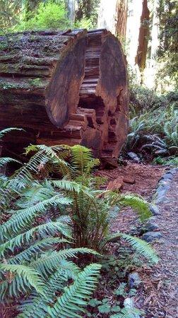 Redwood National Park: Massive Redwood Trunks and Ferns