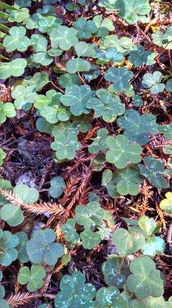Redwood National Park: Shamrock Fields in Redwood Forests